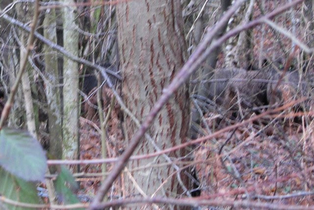 IMG_3141 Wild boar in woodland