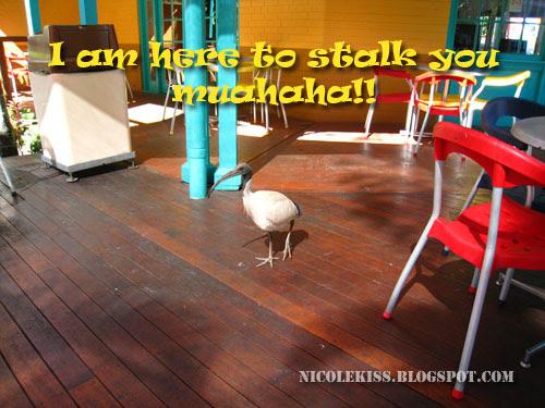 ibis stalking