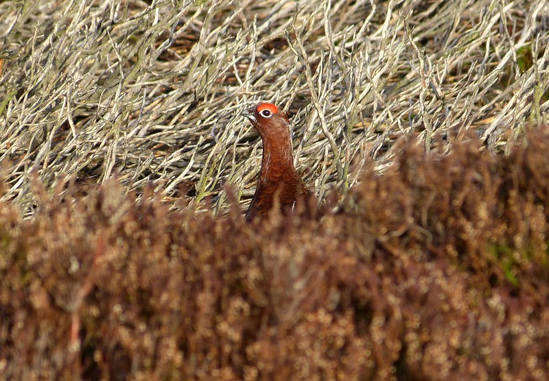29126 - Red Grouse, Burley Moor