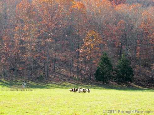 Rounding up the sheep surrounded by autumn color 5 - FarmgirlFare.com