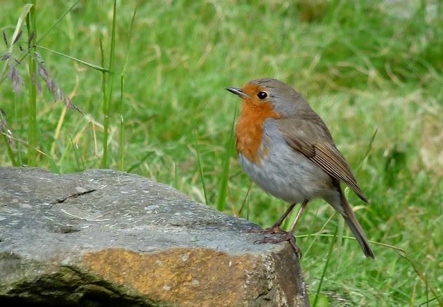 24482 - Robin
