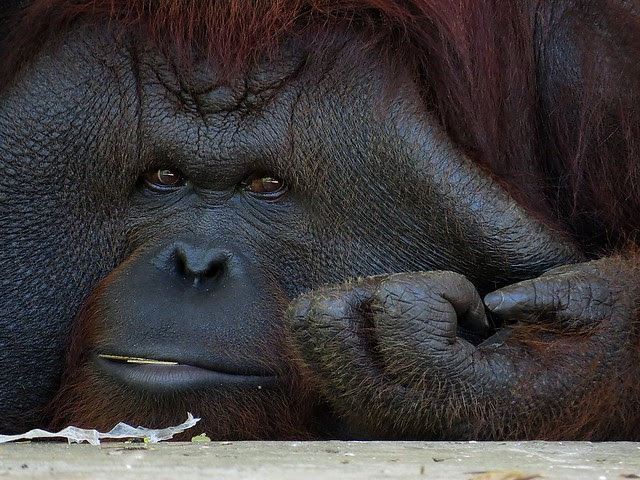 Bornean Orangutan (Pongo pygmaeus)  Photographed by Bernard Eirrol Tugade