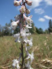 el dorado larkspur - delphinium hansenii