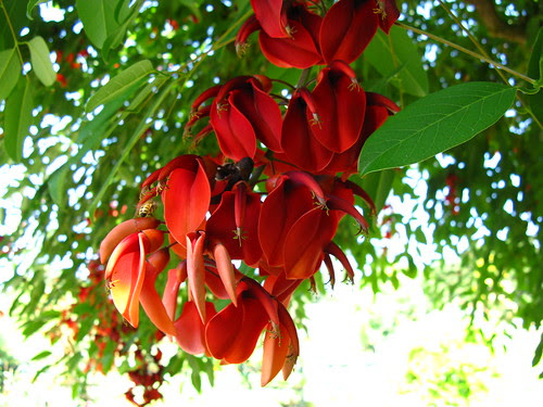 Erythrina crista-galli, a giant pea family member from South America.