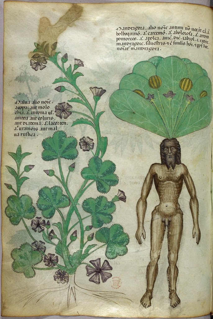 Miniature of plants, including a mandrake plant with a naked male body as the root - (Tractatus de Herbis - Sloane 4016   f. 56v)
