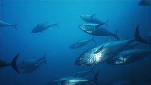 Bluefin tuna school