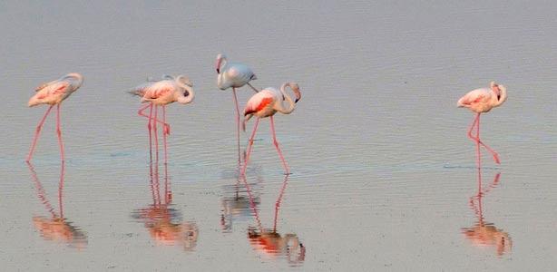 El flamenco común se fija en las lagunas de La Mancha para formar una colonia de cría