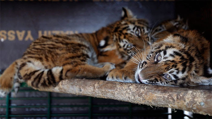 τίγρη τίγρεις Σιβηρίας τιγράκια Σιβηρίας τιγράκια Σιβηρία