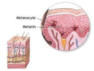 Τα στρώματα της επιδερμίδας (αριστερά).  Μελανοκύτταρα (ΔΙΚΑΙΩΜΑ), που βρίσκεται στο κάτω μέρος επιδερμικό στρώμα, παράγουν μελανίνη.