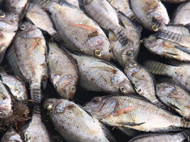 Peixes mortos em Conceição de Coité, na Bahia (Foto: Raimundo Mascarenhas/Calila Notícias)