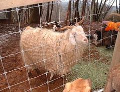 Rug Goat