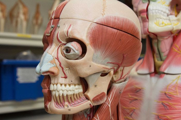 A plastic model showing the anatomy of the human head, including bones, muscles, blood vessels and other tissues.