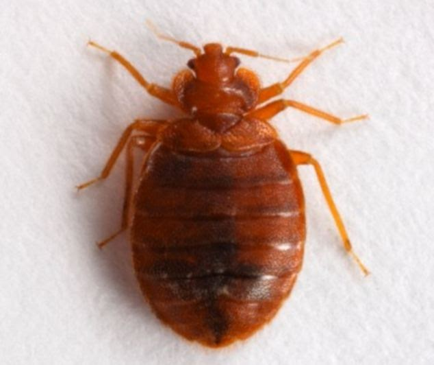 Image Result For Signs Of Bed Bugsa