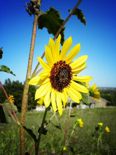 DSCN4311 Sunflower
