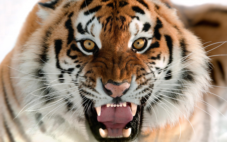 pictures of tiger  HD Desktop Wallpapers  4k HD