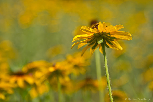 black-eyed susan, standing in a sea of yellow