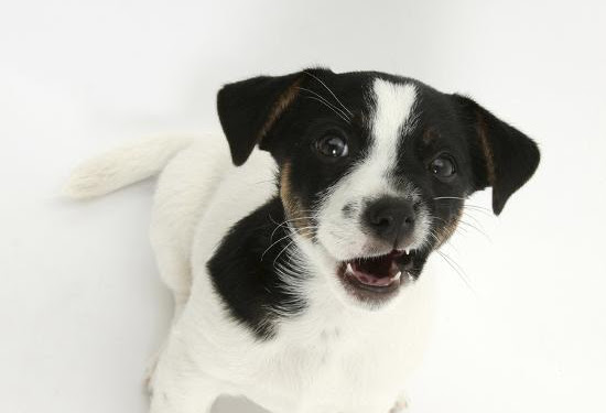 Jack Russell Terrier Puppies Black And White