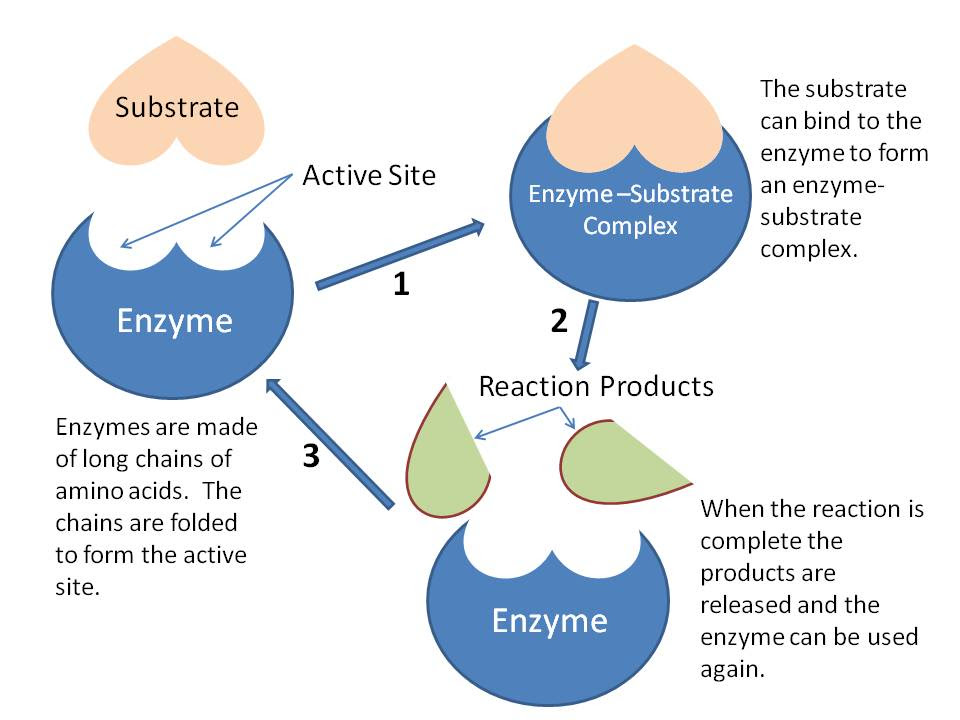 enzyme « The Catalyst