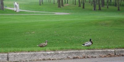 'Ducks over grass' in Sauk Centre