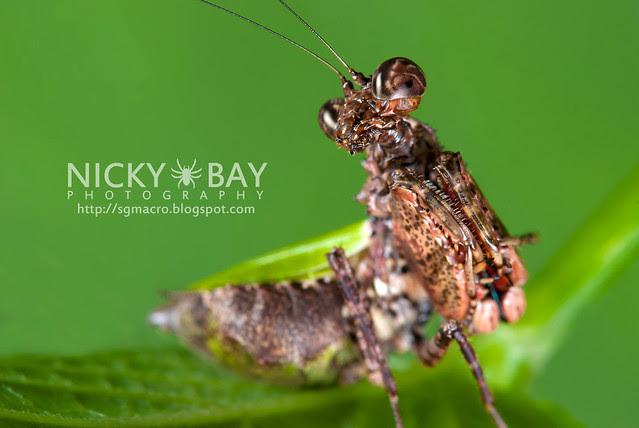 Pachymantis bicingulata - DSC_1440