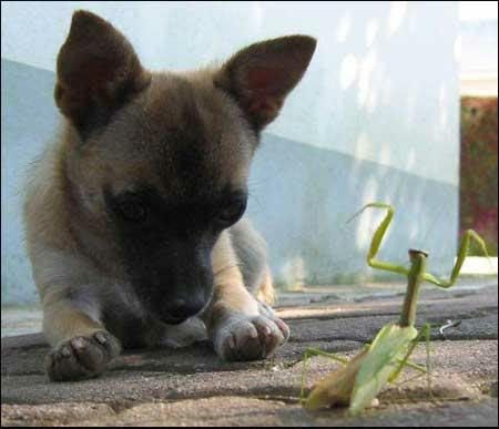 Dog with praying mantis