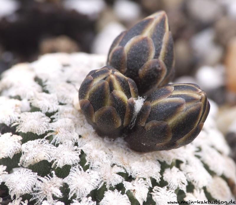 Turbinicarpus valdezianus ssp. albiflorus, El Tecolotes, ZAC.