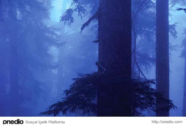 22. Sislerle kaplı ormandaki Hemlock ağacı