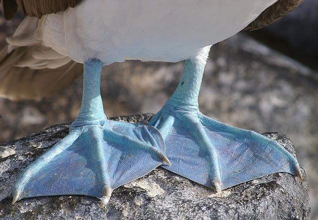 Perierga.gr - Τα πουλιά με τα μπλε πόδια!