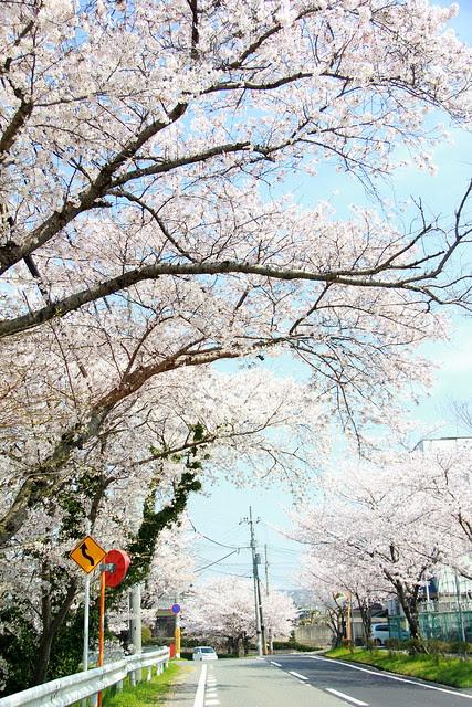 Sakura Matsuri - Ide Town