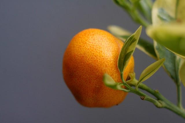 kumquats, july 2010
