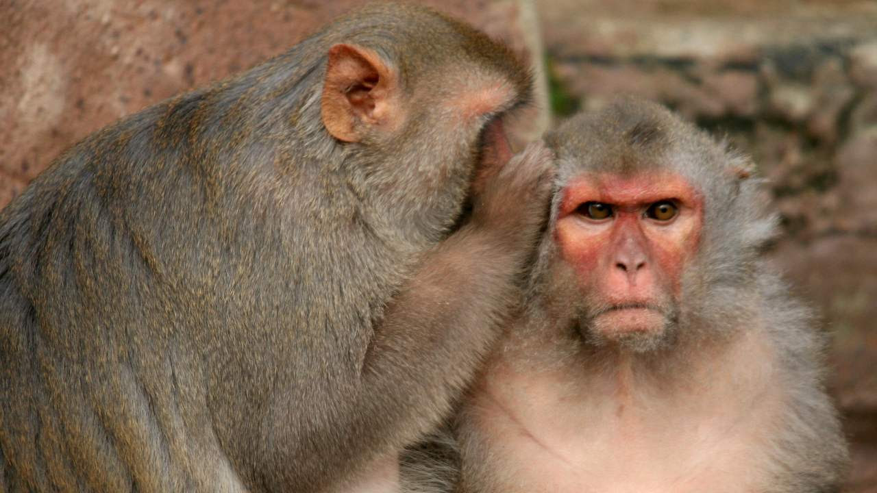 Six rhesus macaque monkeys with single doses of the Oxford vaccine and 28 days later they were a;; healthy. Image credit: Flickr/Jinterwas