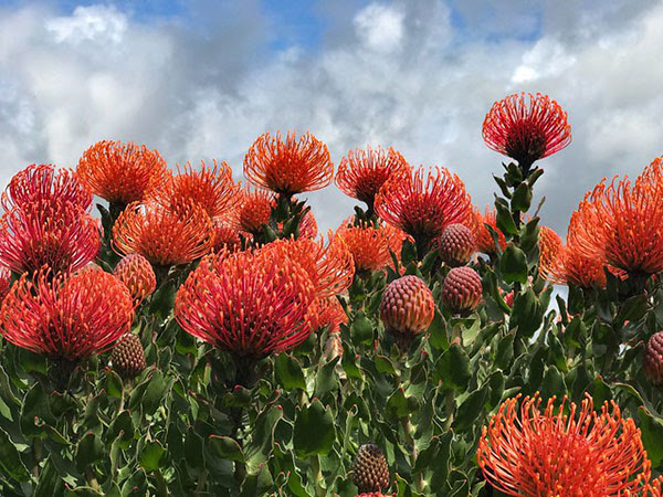"""Protea plant, commonly referred to                                 as the """"pincushion plant"""" at Avila                                 Beach, California"""