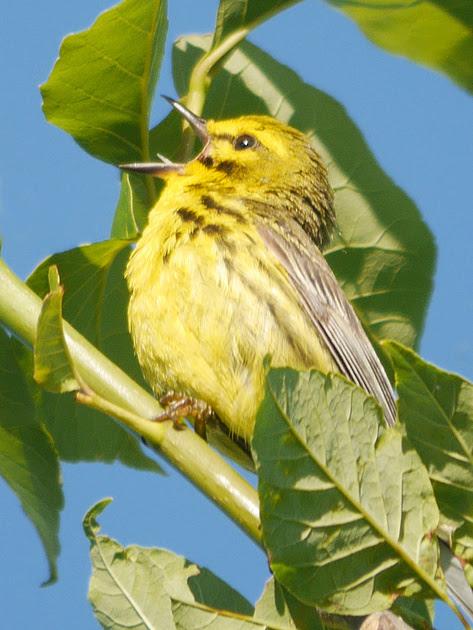 Ed Gaillard: birds &emdash; Prairie Warbler singing, Prattsville NY