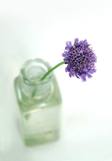 Pincushion Flower - Scabiosa