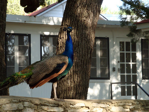 peacock_poised