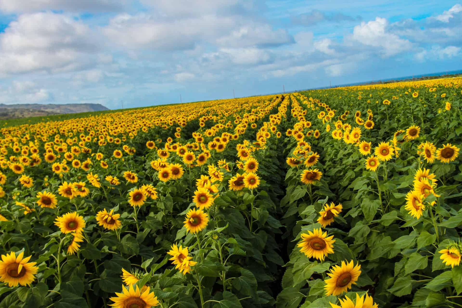 Sunflower Fields in Waialua on Oahu's North Shore - A Must ...