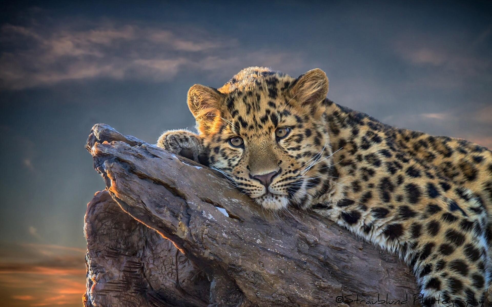 leopard wallpaper beautiful  HD Desktop Wallpapers  4k HD