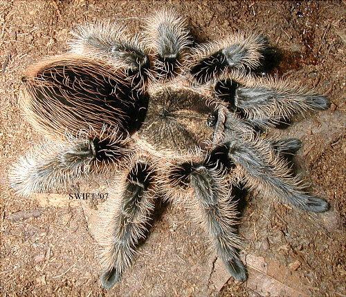 curly hair tarantula. Tarantula Price List