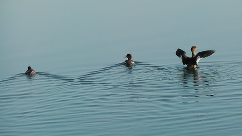 S1230024_Mergansers_at_Reservoir