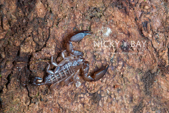 Scorpion (Liocheles australasiae?) - DSC_0728