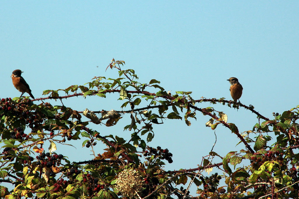 Unos pájaros en las zarzas