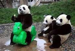 gambar beruang  panda lucu imut gambargambarco