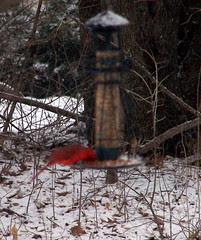 Cardinal_31908b