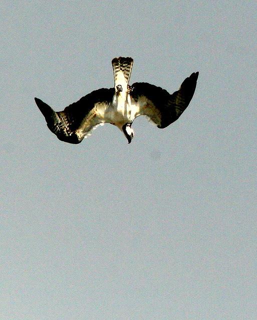 Osprey Diving 20091028
