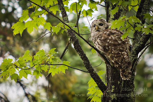 Barred Owl, Big, Bay, State, Park, Madeline, Island