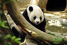 Panda di Zoo San Diego, A.S.