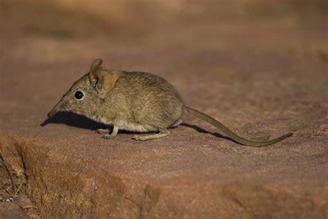 Desert Shrew, Crawford's gray shrew, Notiosorex crawfordi crawfordi   DesertUSA