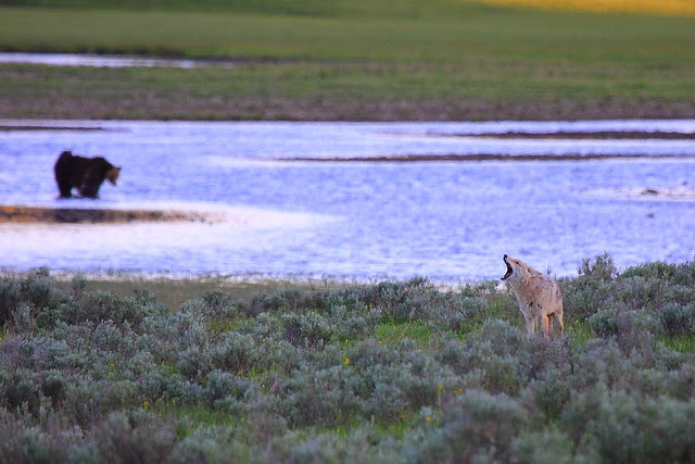 IMG_9118 Coyote Howling