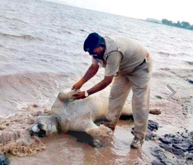 A Gujarat policeman with a carcass of a lion in Amreli following the floods