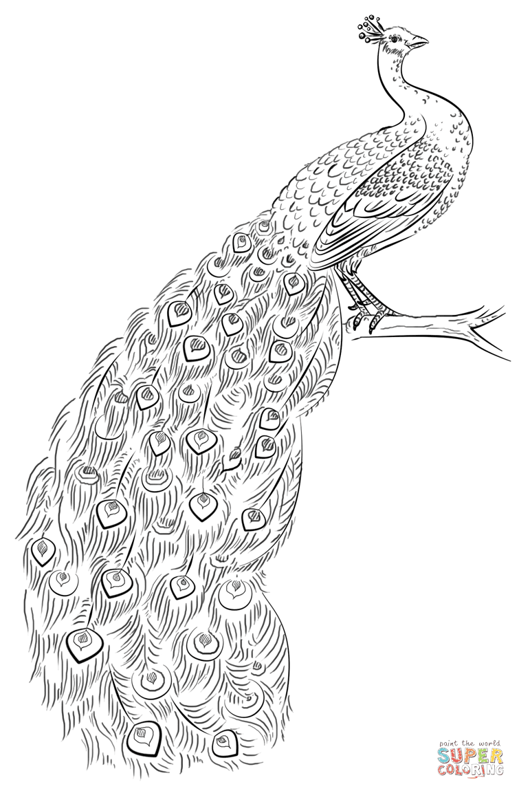 Peacock coloring page | Free Printable Coloring Pages